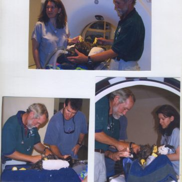 """""""The baby bald eagle""""-with Dr. Winston Vickers"""